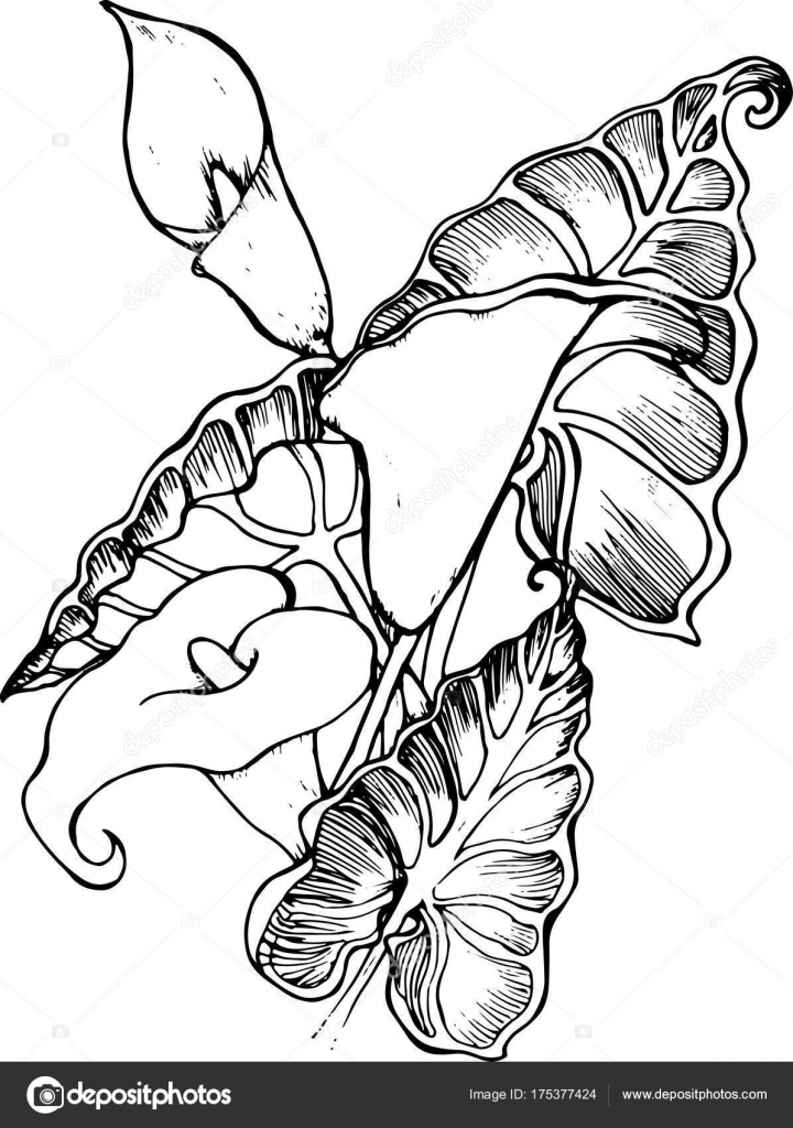 Illustration Of White Spathiphyllum A Symbol Of Beauty And