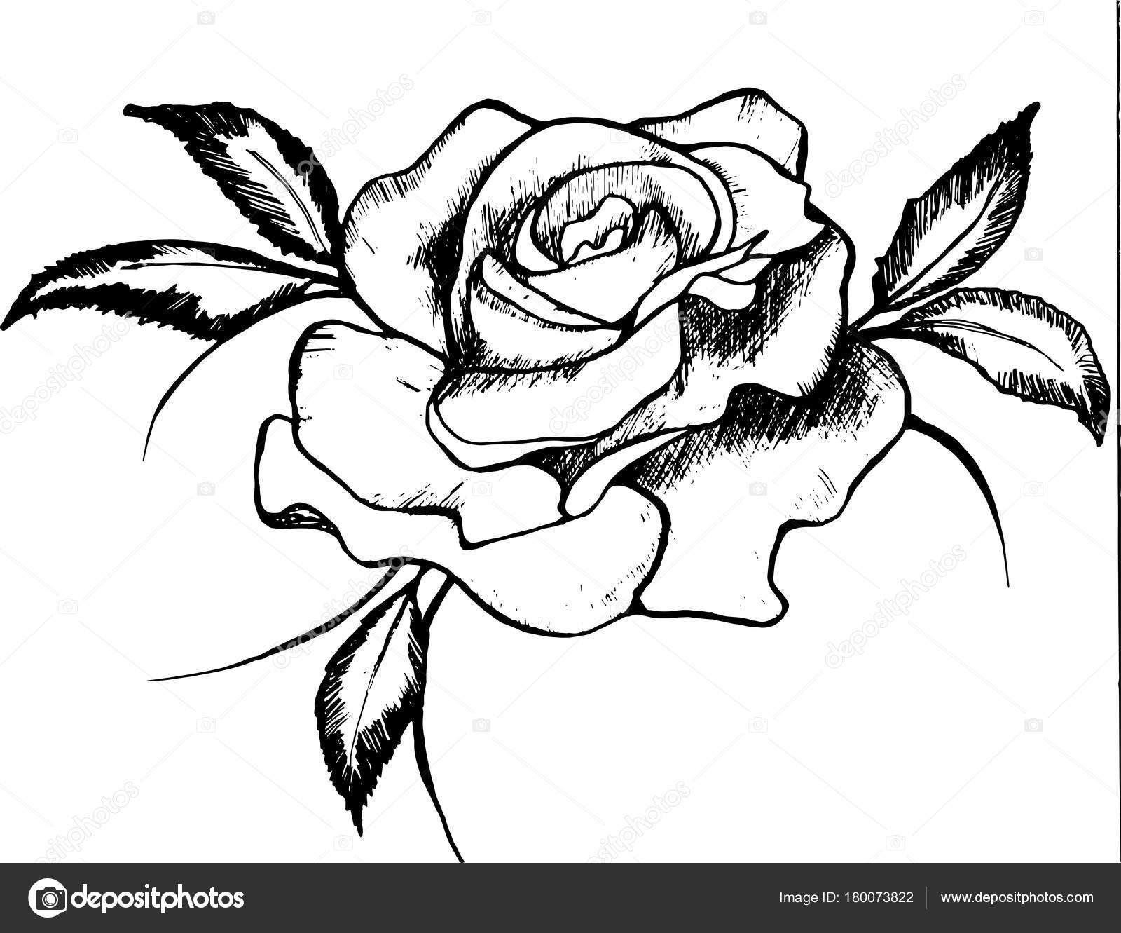 Black And White Drawing Of A Rose Rose Is A Symbol Of Passion