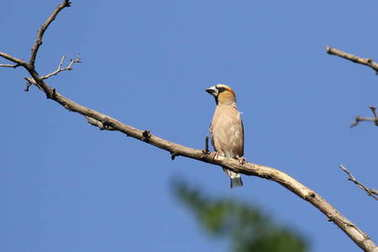 The hawfinch (Coccothraustes coccothraustes) is a passerine bird in the finch family Fringillidae.  ukraine.Its head is orange-brown with a black eyestripe and bib.The upper parts are dark brown and the underparts orange.