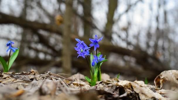 jarní sněhové kapky jsou v lese modré. detailní záběr květin pohybujících se ve větru. brzy na jaře. Bluebell. vysoce kvalitní video