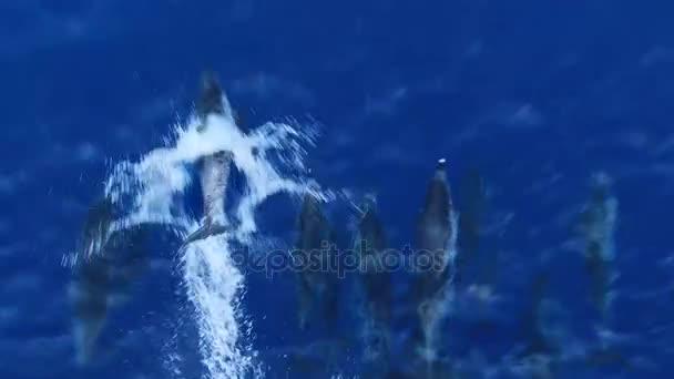 Mnoho delfínů skákání v přední plachetní loď