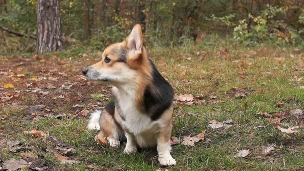 Pes sniffs vzduch. Psí plemeno Welsh Corgi Pembroke na procházce v krásném podzimním lese.