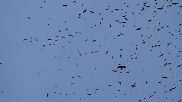 Egy nagy, sok varjak fonás, repül az égen.