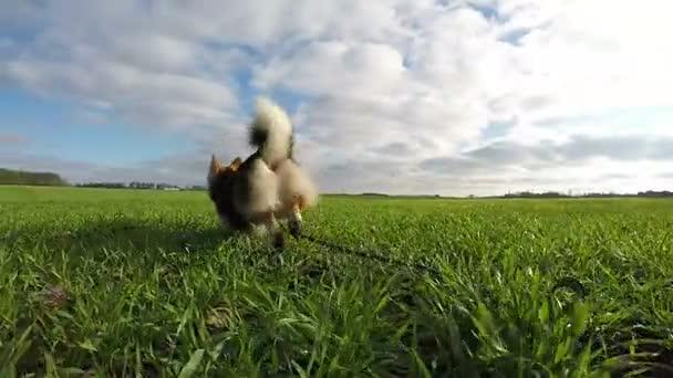 Langsame Dreharbeiten. Hund welsch corgi pembroke läuft, tobt auf der grünen Wiese.