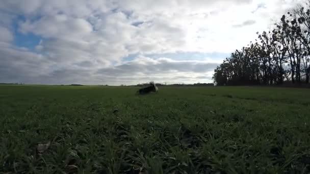 Langsames schießen. Hund läuft der Welsh Corgi Pembroke, tummeln sich auf der grünen Wiese.