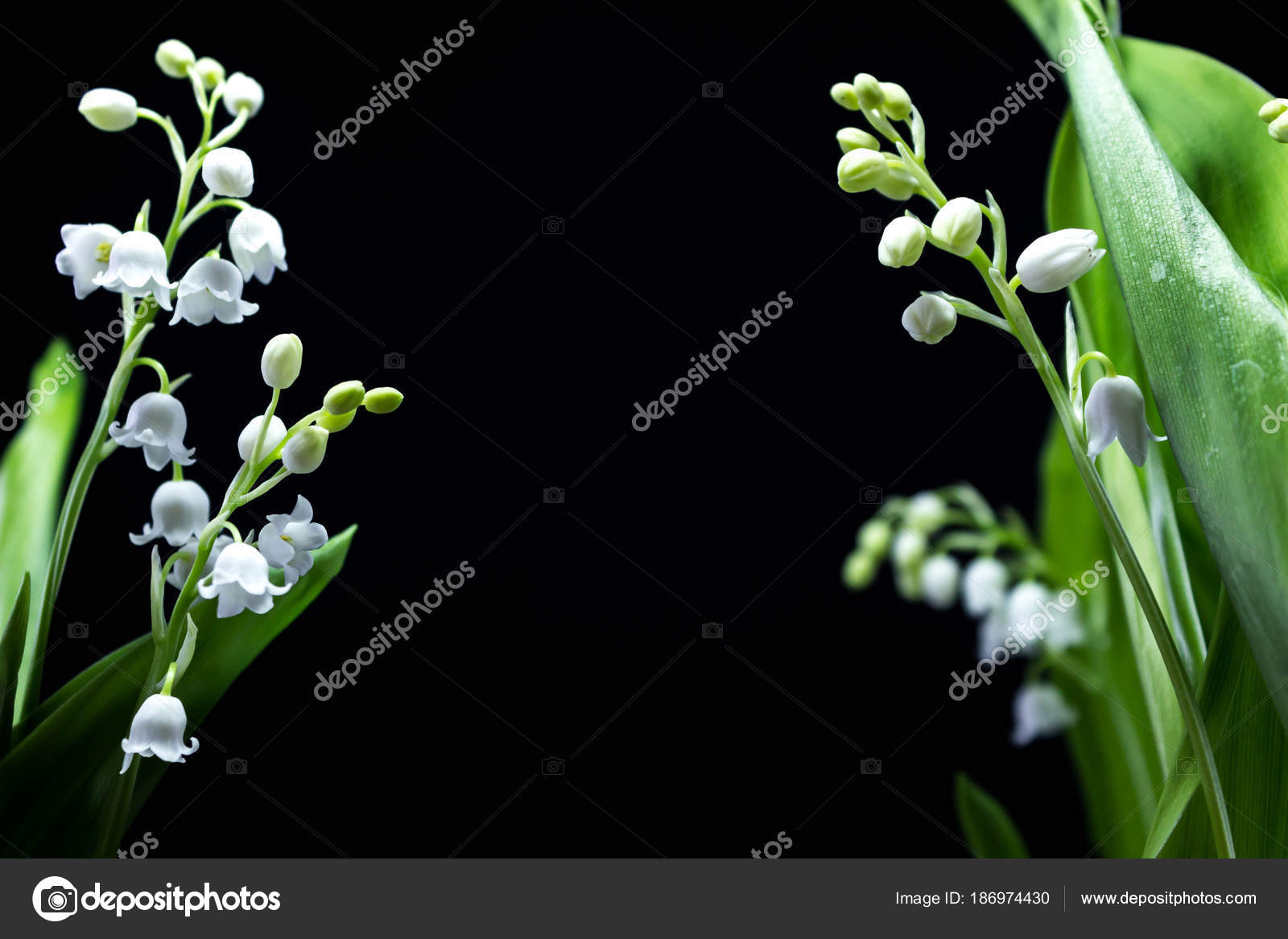 Fresh spring flowers lily of the valley on a black background fresh spring fragrant flowers lily of the valley on a black background bright and juicy background of delicate lily of the valley flowers izmirmasajfo