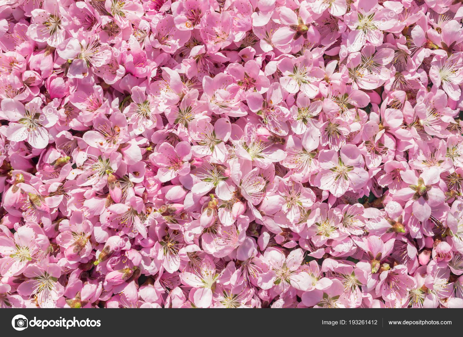 Sfondo Delicatamente Rosa Molti Fiori Di Pesco Rosa E Delicati Uno