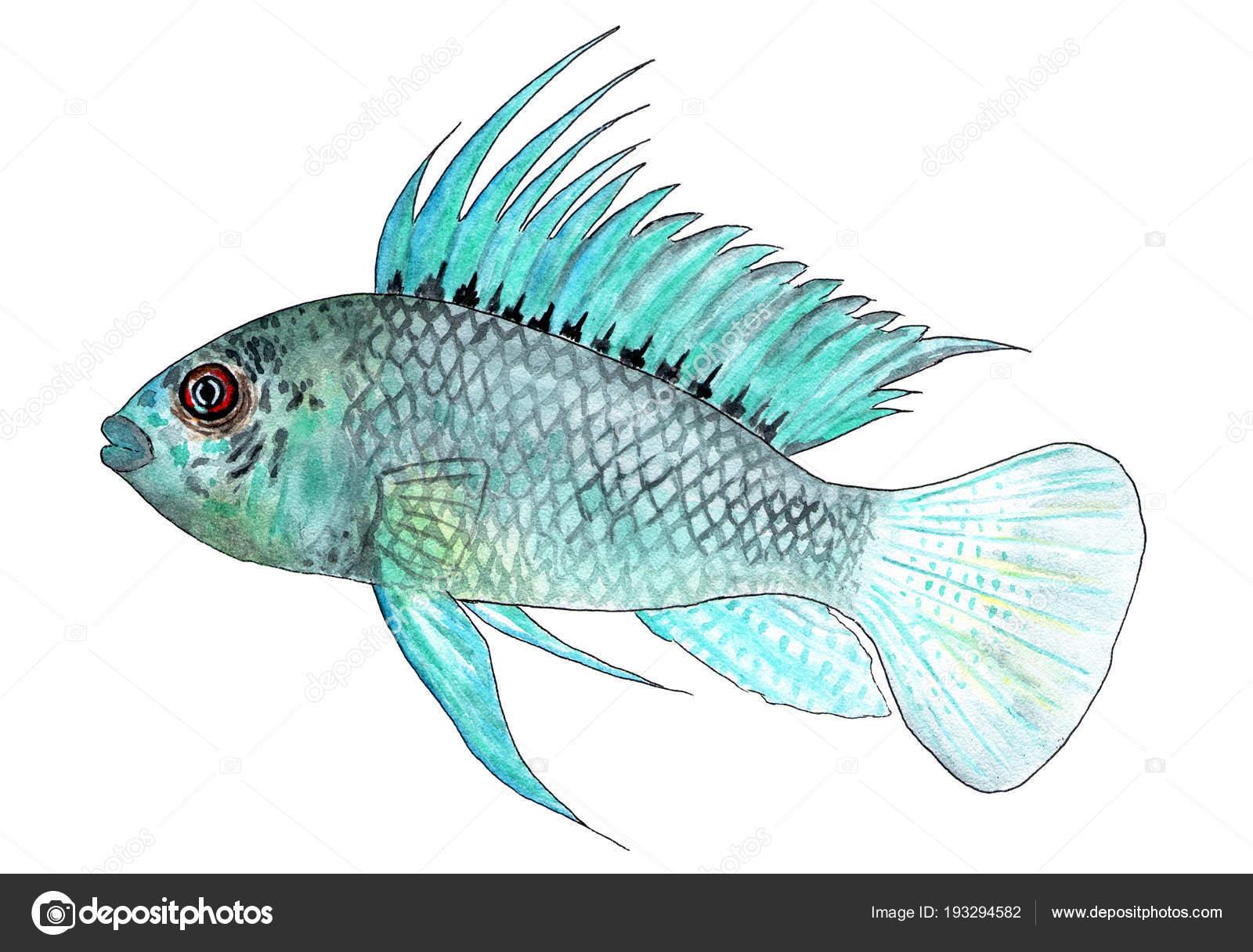 Apistogramma Arua Aquarium Tropical Fish Watercolor Illustration