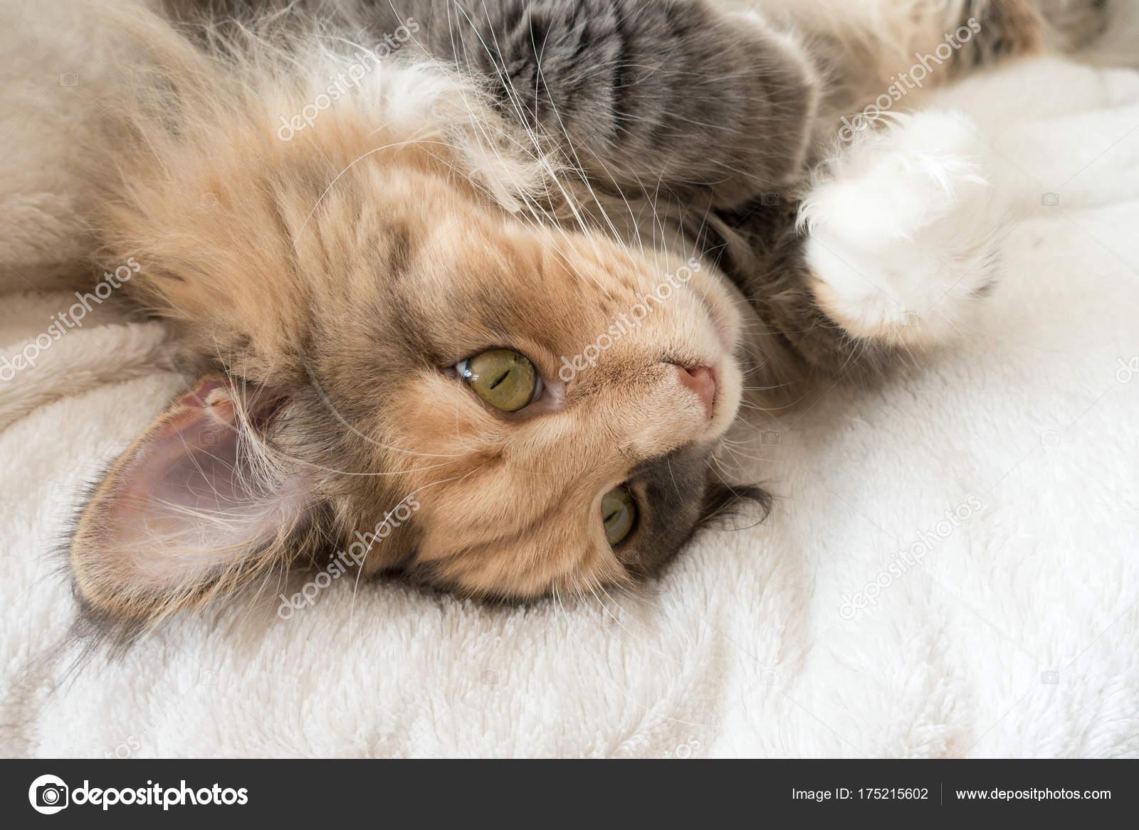 Niebieski Szylkret Pręgowany Z Biały Kot Maine Coon Leżąc Na łóżku