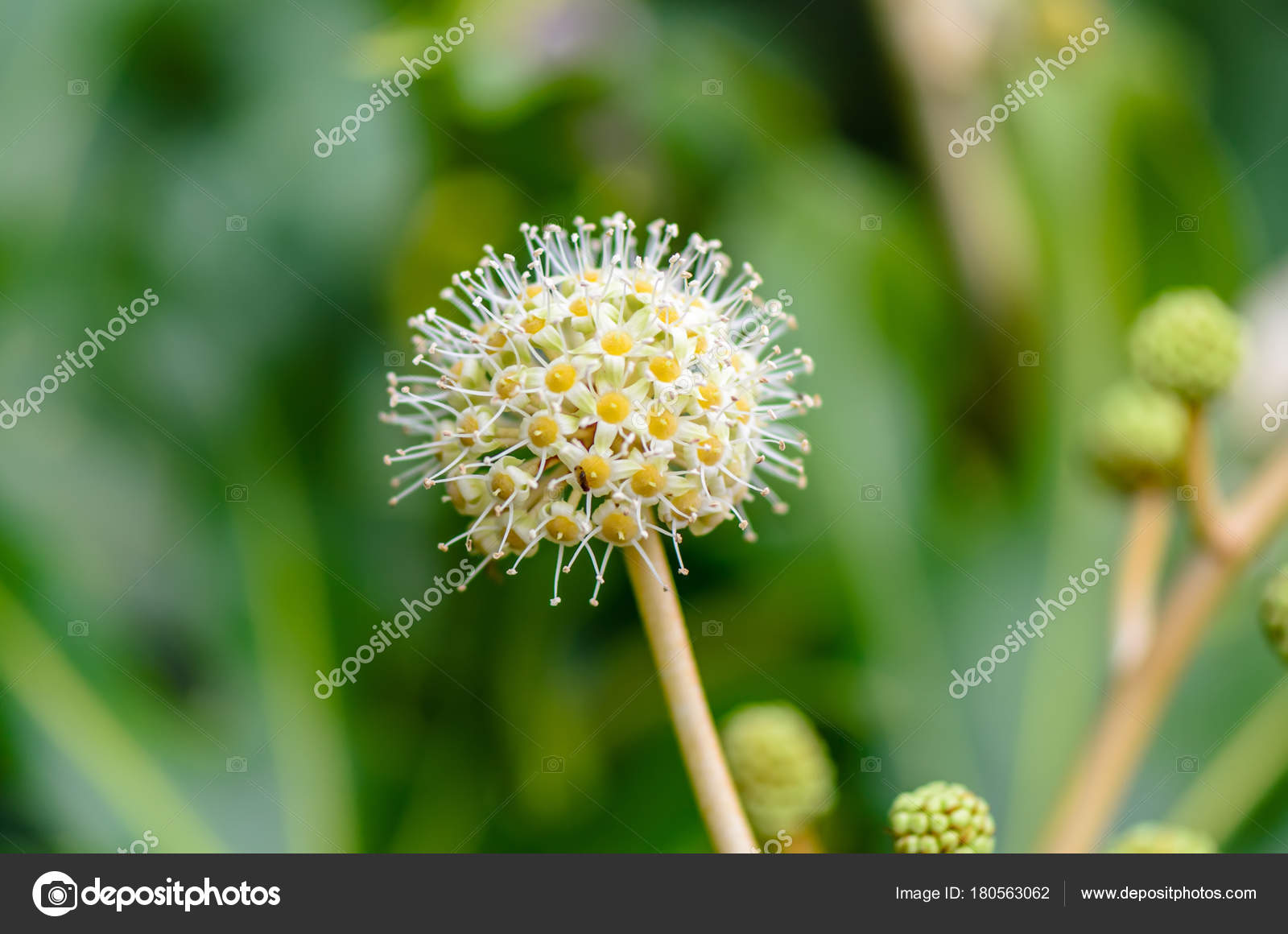 Plant Of White Yellow Round Flower With Many Small Flowers Sta