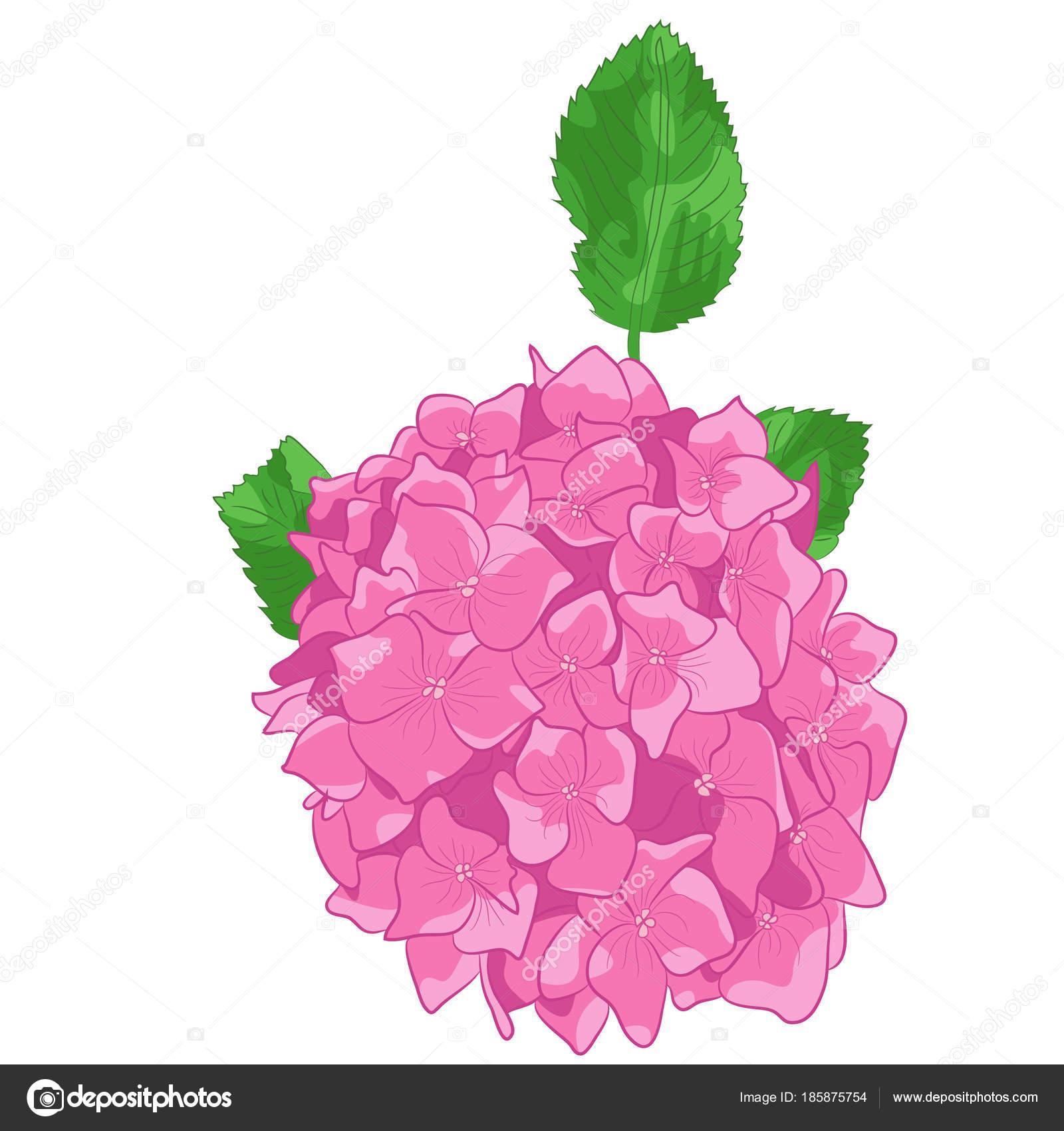 Dibujo Vectorial De Hortensia Rosa En Fondo Blanco Archivo