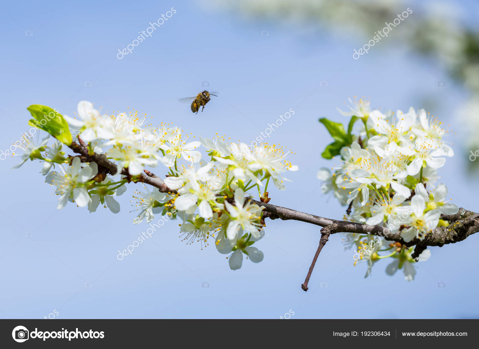 Bee On White Plum Flower With Pollen In Springtime Close Up Mac