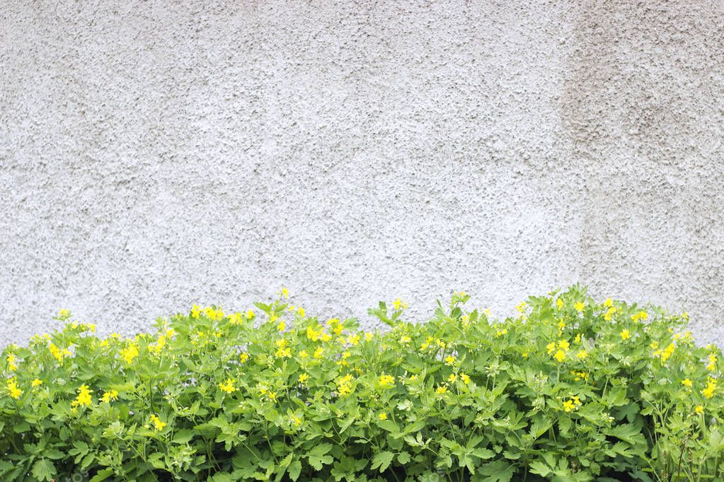 Green celandine flowers on roughcast background