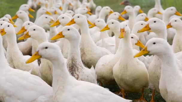 Domestic white ducks with orange beaks walk one after another on the green grass on the farm