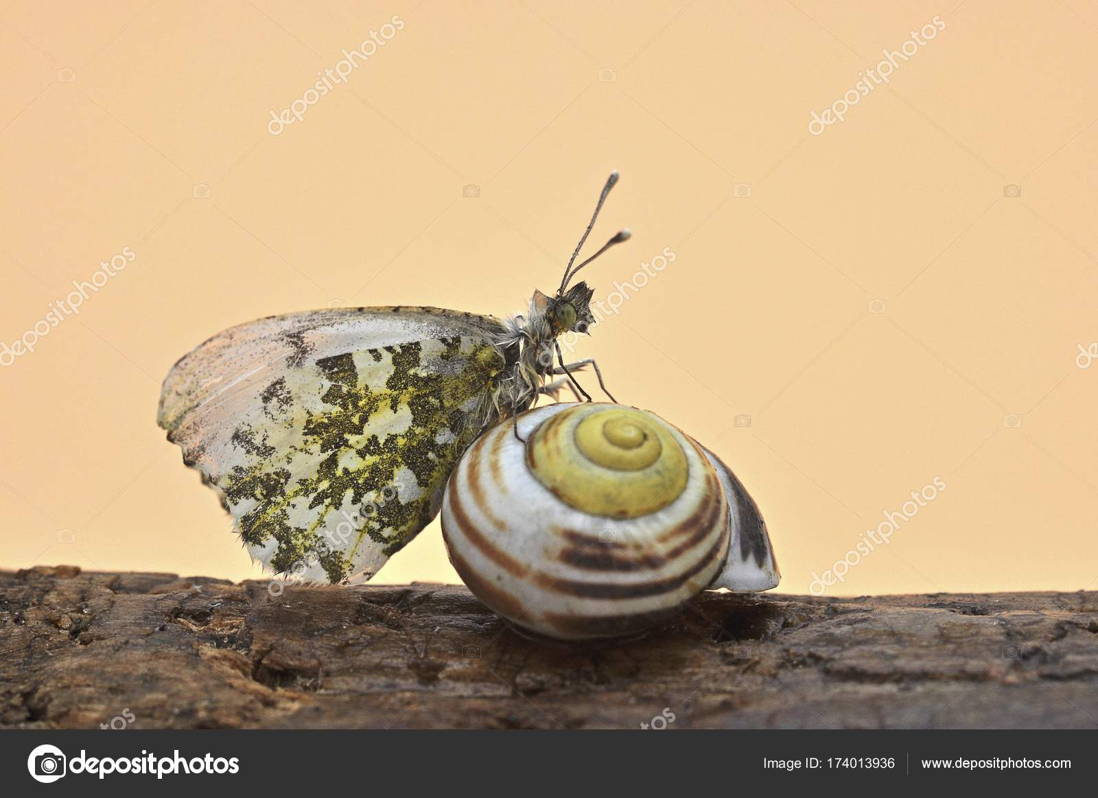 Orange Tipp Anthocharis Cardamines Weibliche Schmetterling Auf Einem ...