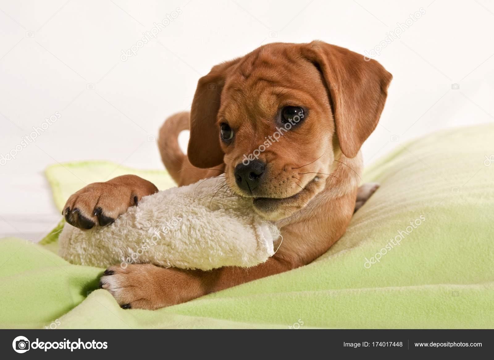 Puggle Welpen Hund Bett Spielen Stockfoto Imagebrokermicrostock