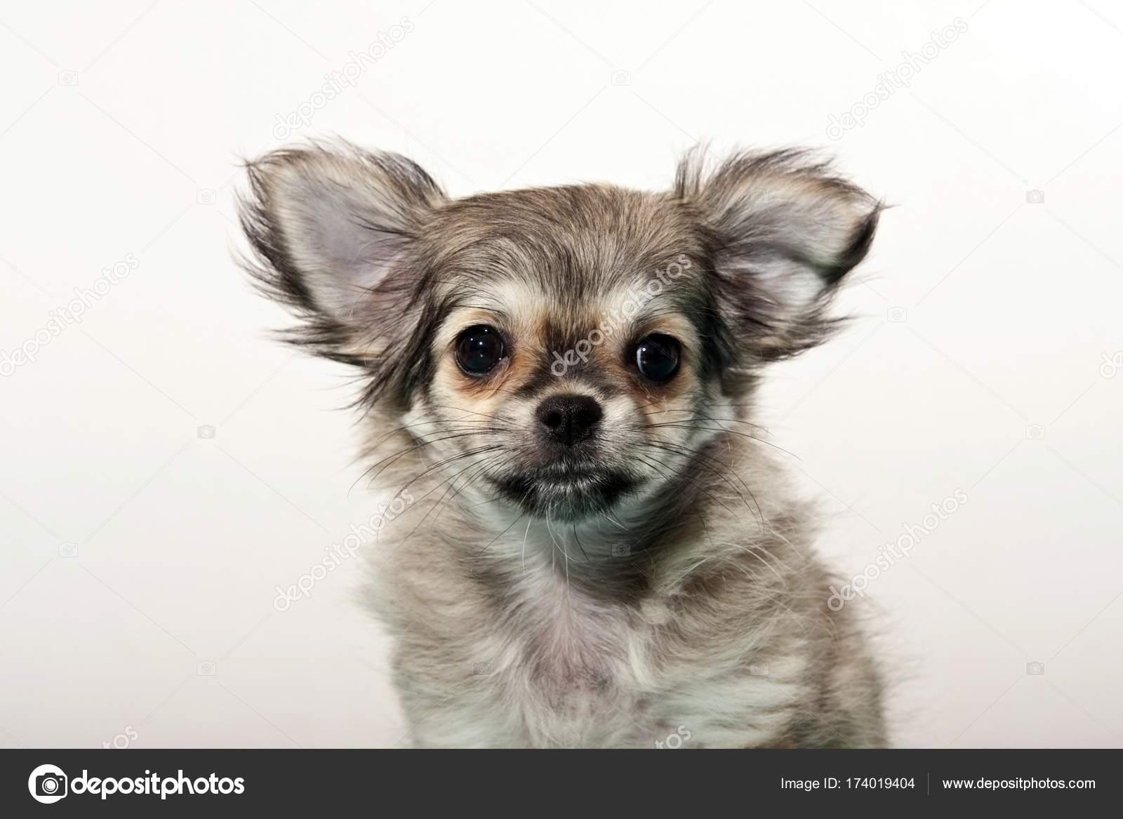 Funny Portrait Cute Little Grey Chihuahua Puppy Stock Photo C Imagebrokermicrostock 174019404
