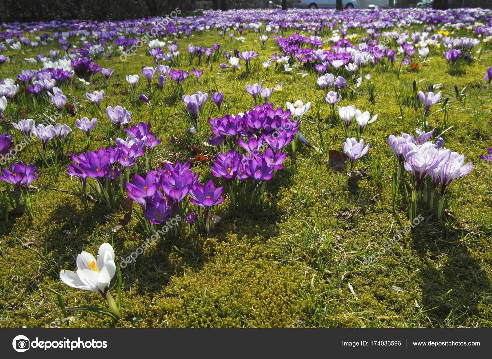 Flor Azafran Cultivo Cultivo Flores Azafran Primavera Azafranes - Cultivo-azafran