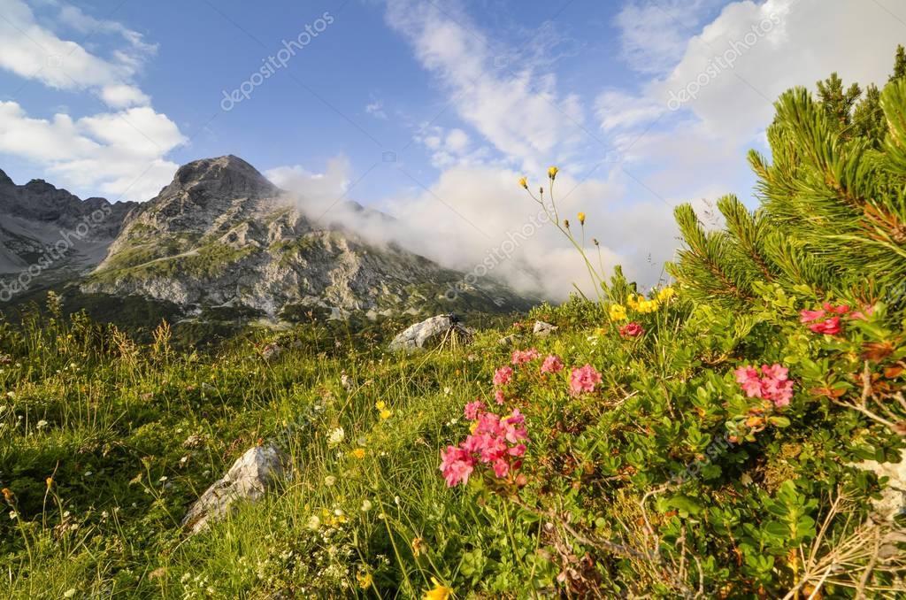 Hairy Alpenrose (Rhododendron hirsutum), Karwendel mountains, Tyrol, Austria, Europe