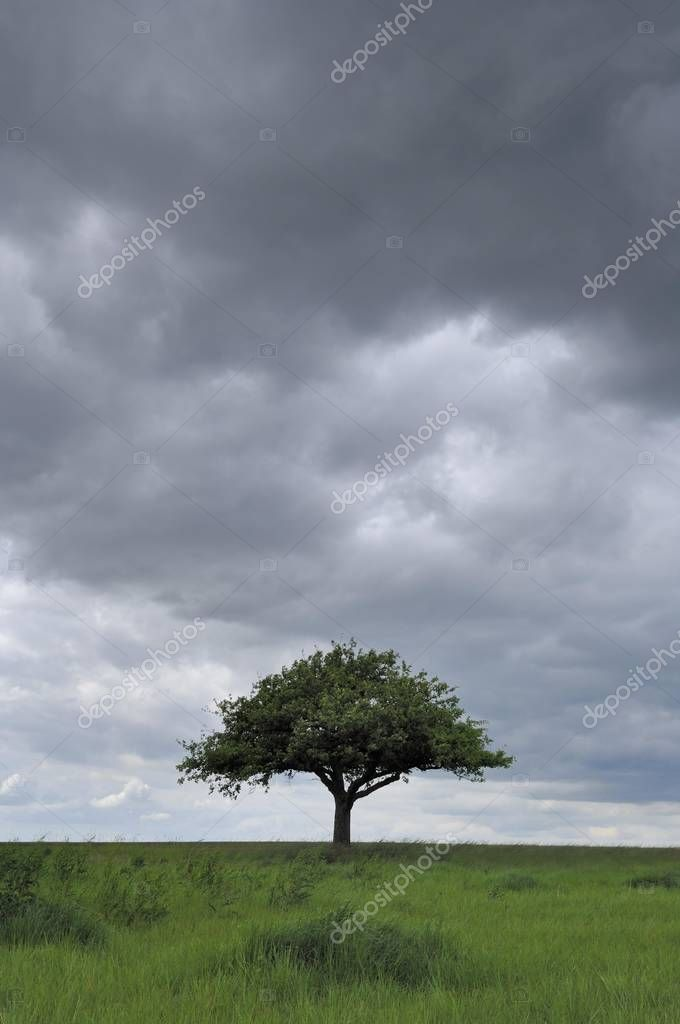 Apple tree in front of a stormy sky