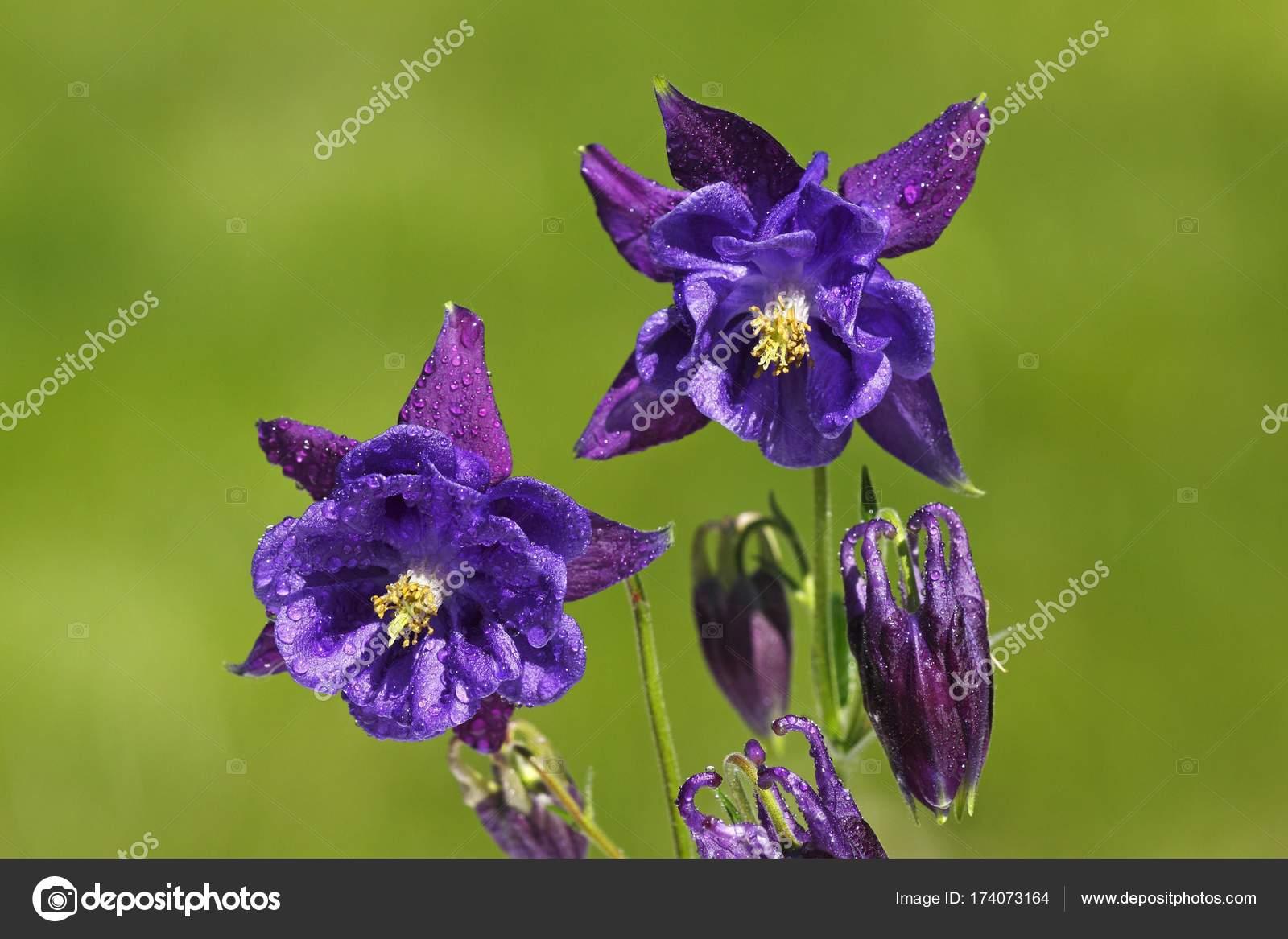 Columbine Cultivar Aquilegia Ornamental Plant Poisonous Garden Plant