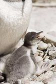 Gentoo penguin (Pygoscelis papua), chick in a zoo