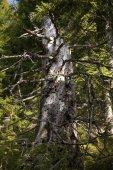 Morto in Deadwood Abete (Picea) Mt Feldberg in foresta nera, Germania, Europa