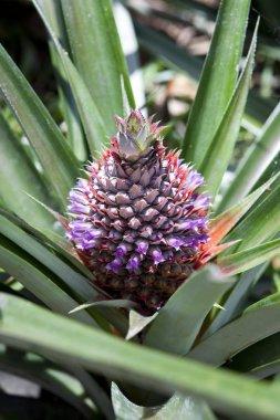 Wild pineapple (Ananas comosus), Seychelles, Africa, Indian Ocean, Africa