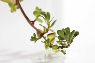 green leaves  Coastal Waterhyssop, Brahmi, Thyme-leafed gratiola