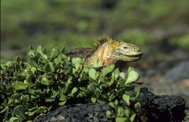 Galapagos Land Iguana (Conolophus subcristatus), Galapagos