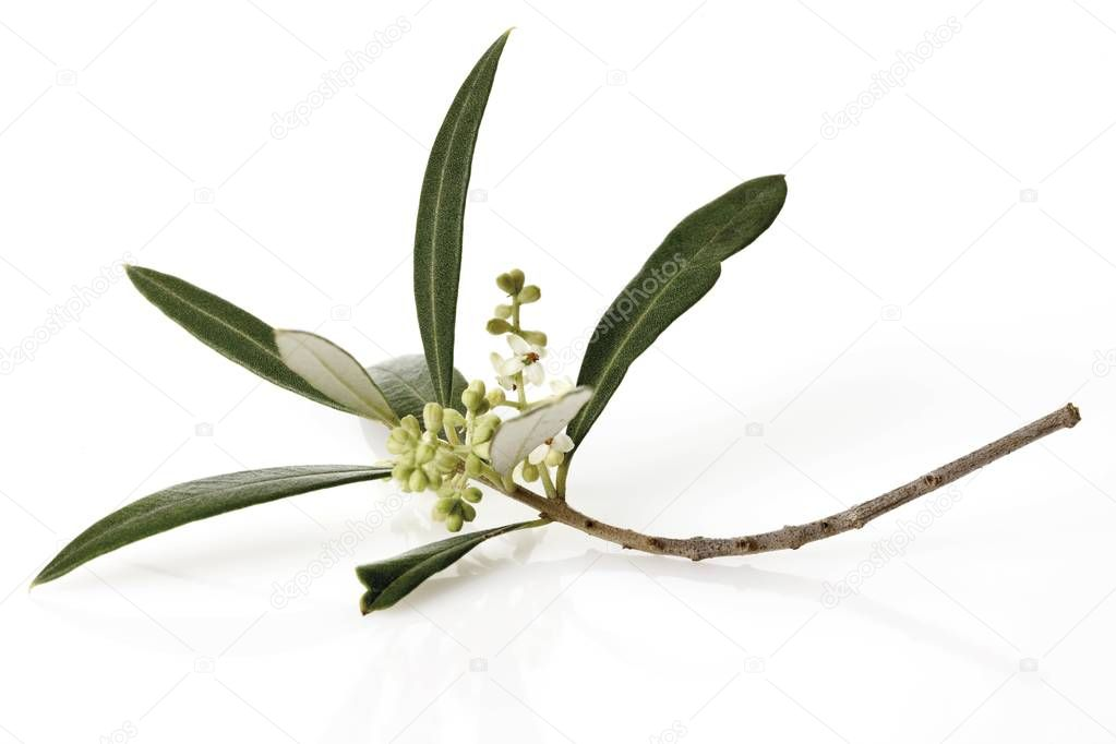 Branch of olive flowers at white background