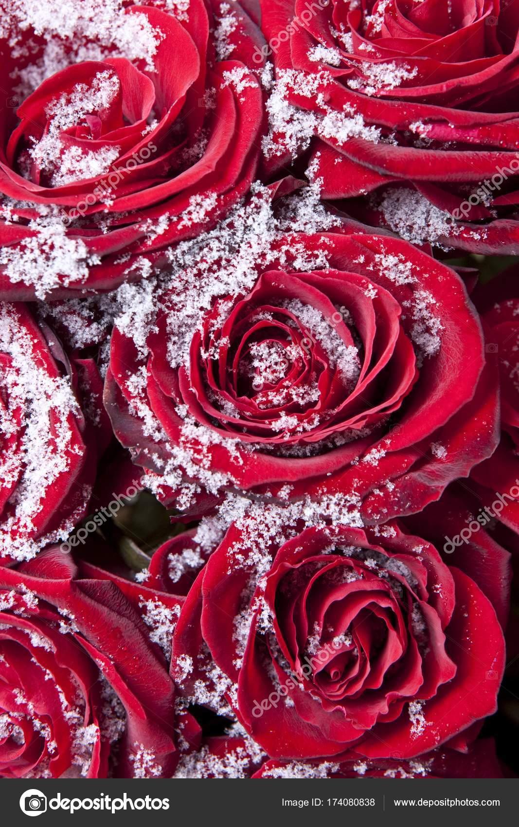 Rote Rosen Winter Schneekristallen Bedeckt Stockfoto