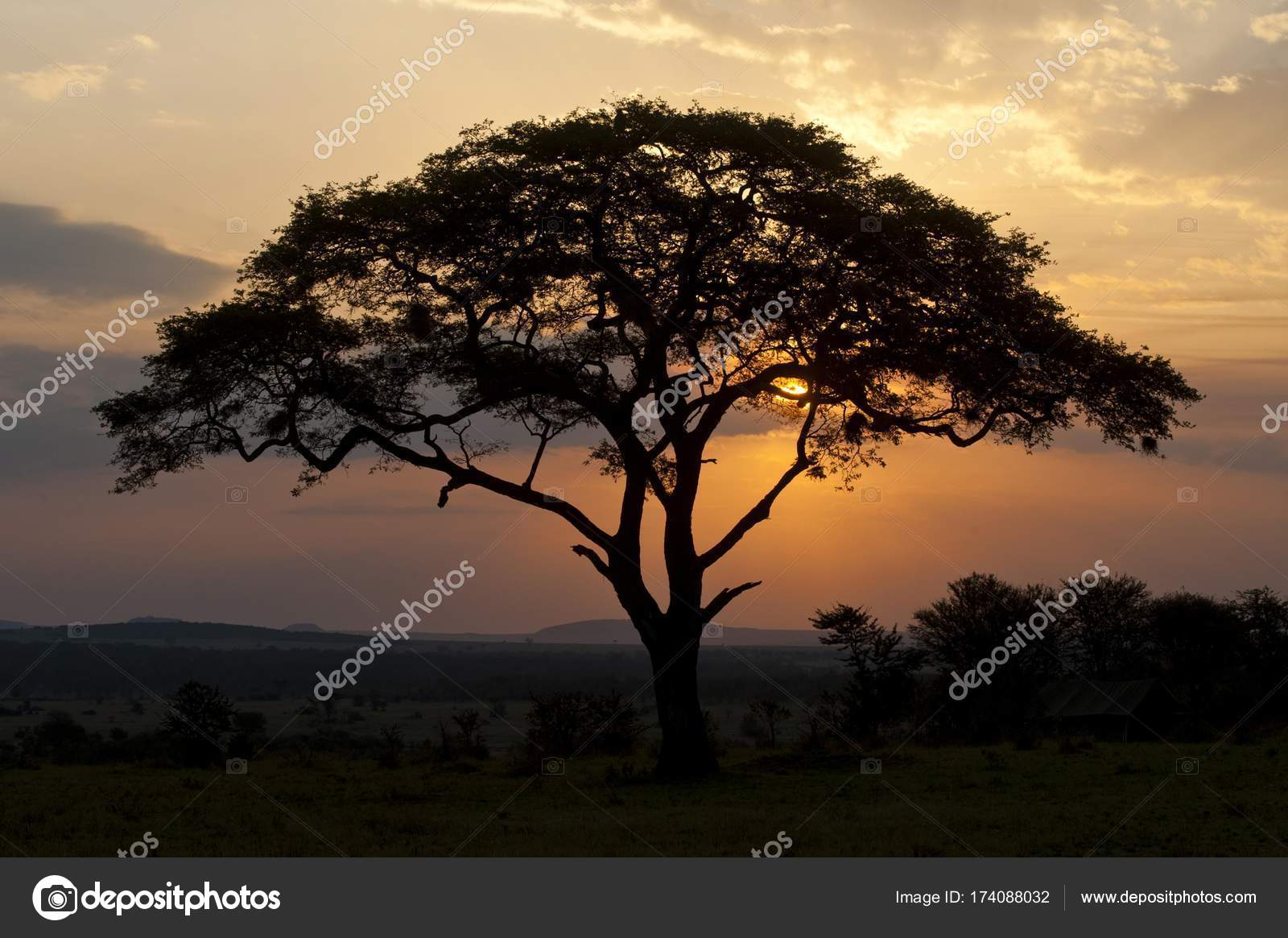 Umbrella Thorn Acacia Tree Stock Photo Imagebrokermicrostock