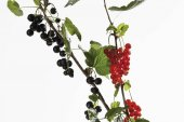 Red and black currants with leaves on a branch