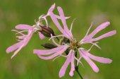 Ragged robin flowers, Lychnis flos cuculi
