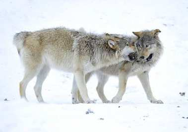 Mackenzie Valley Wolf, Alaskan Tundra Wolf or Canadian Timber Wolf in snow