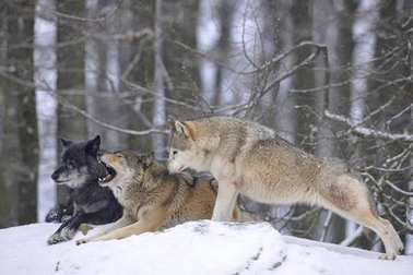 wolves in the snow, with leader of the pack