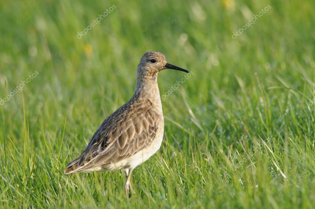 Ruff (Philo pugnax) at green grass wild
