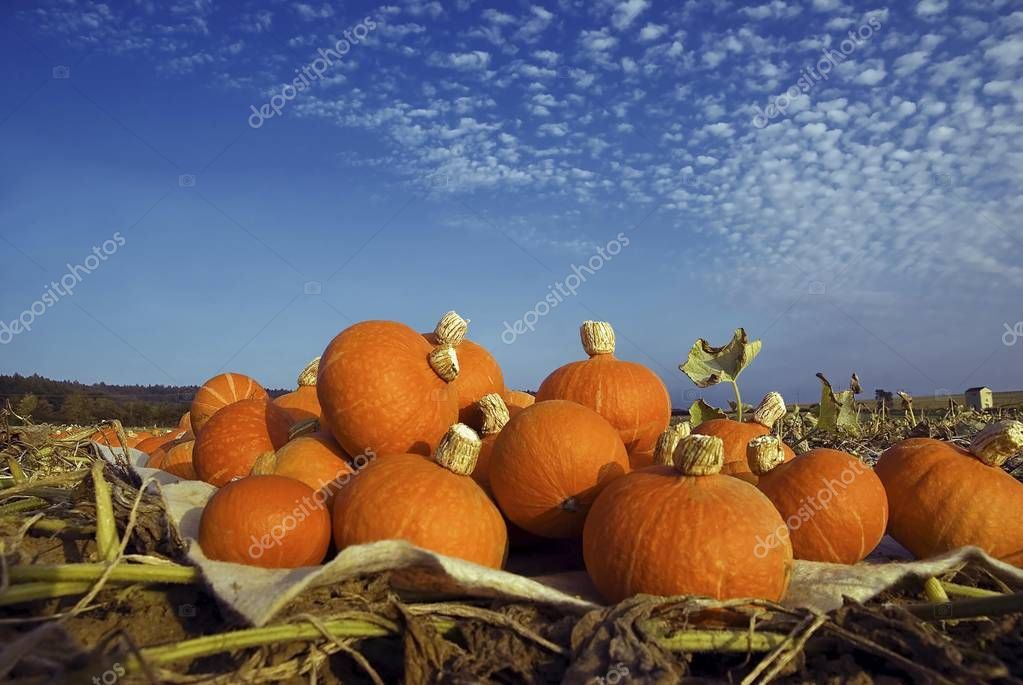 Harvested pumpkins in a pumpkin field with fluffy clouds