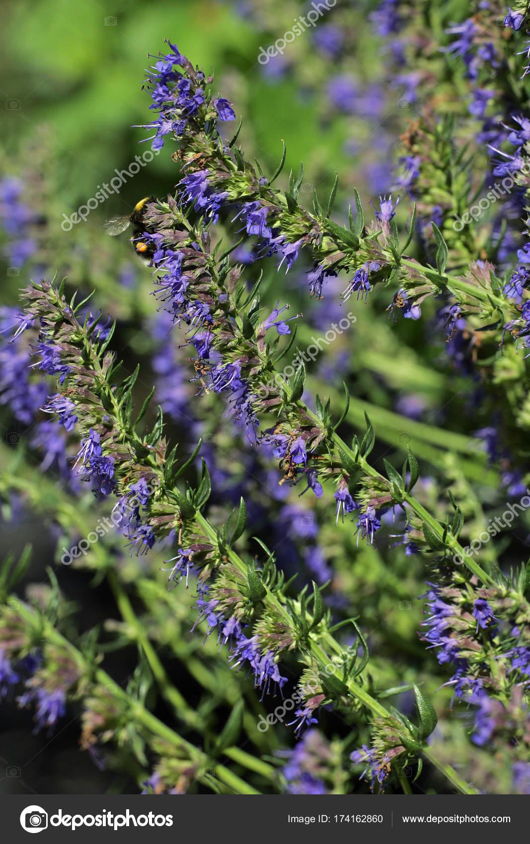 Issopo hyssopus officinalis pianta fioritura con fiori for Pianta fiori viola