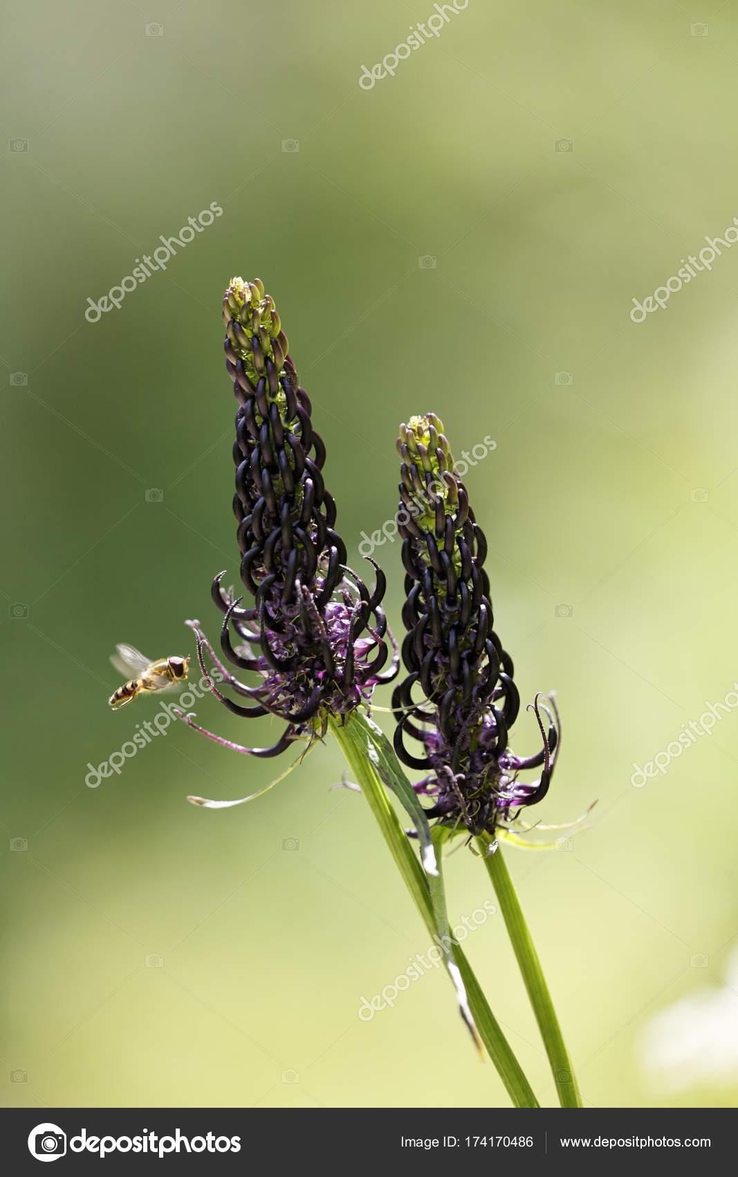 Nahaufnahme Von Rapunzeln Phyteuma Ovatum Alpen Stockfoto