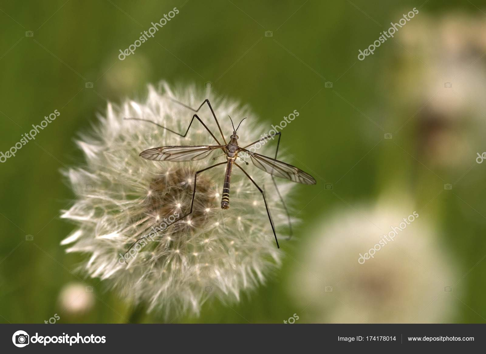 crane fly sitting on blow ball stock photo imagebrokermicrostock