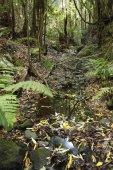 Národní Park Garajonay, creek v vavřínový Les, laurisilva, La Gomera, Kanárské ostrovy, Španělsko, Evropa