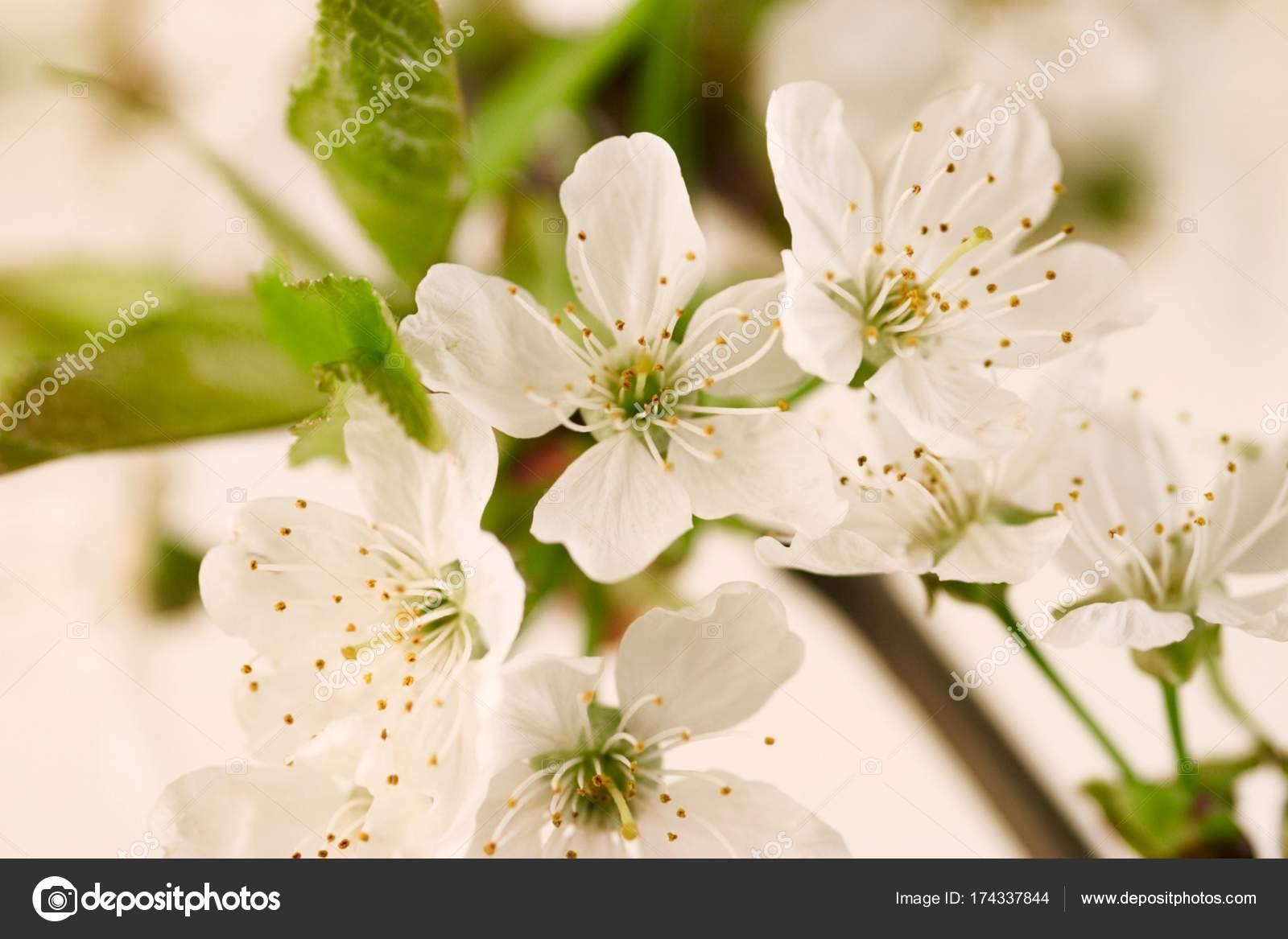 White Aromatic Cherry Blossom Flowers Stock Photo