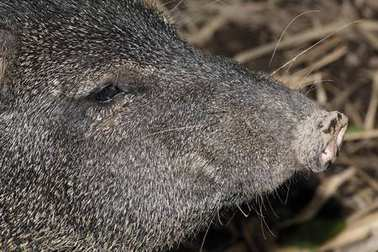 Collared peccary (Pecari tajacu), Costa Rica, North America