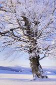 Fagus sylvatica albero nel paesaggio della neve, stagione invernale