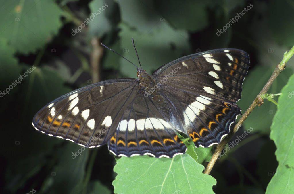 White admiral butterfly, Ladoga camilla