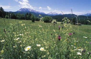 summer meadow with flowers, Wetterstein mountains