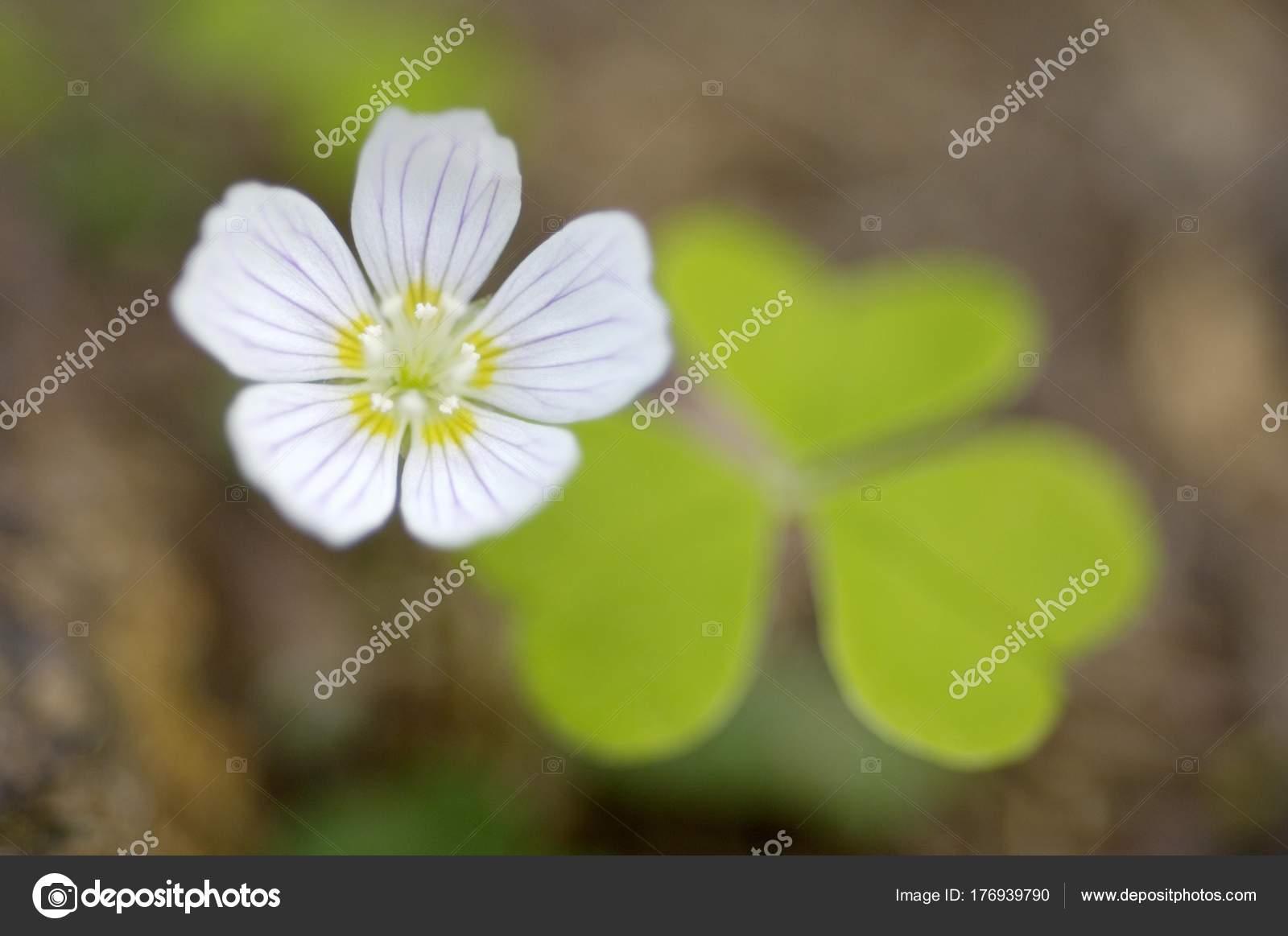 Quadrifoglio e fiore comune di acetosella Oxalis acetosella \u2014 Foto di  imagebrokermicrostock