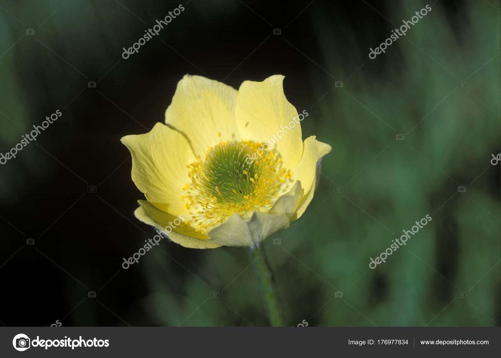 INDIGO DIY желтый один цветок анемона Орхидея Тюльпан 15
